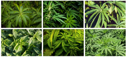 cannabis Marijuana Mist Works misting system